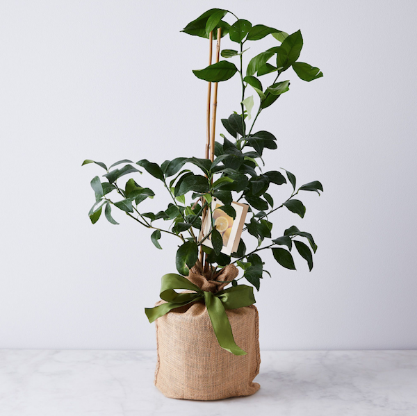 Sustainable Wedding Registry Gifts for the Eco-Conscious Couple | Lemon and Lime Citrus Trees